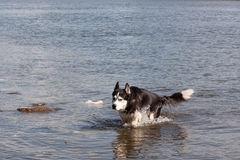 Husky in water Royalty Free Stock Photos