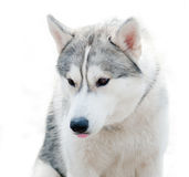 Husky on white Stock Photography