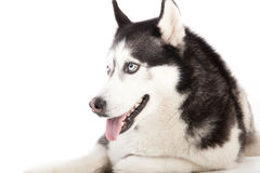 Husky on white. Happy dog photographed in the studio on a white background stock image