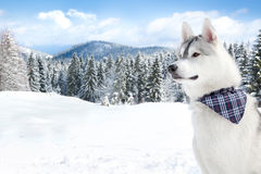Husky on white snow background