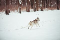 Husky in the white snow. Playful husky dog is running on the snow. Winter walking Stock Images