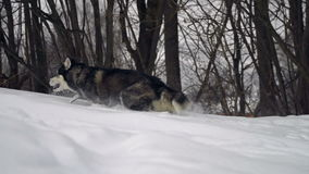 Husky in winter forest stock video