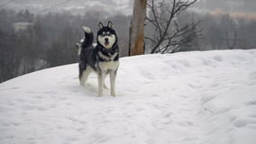 Husky in winter forest stock video footage