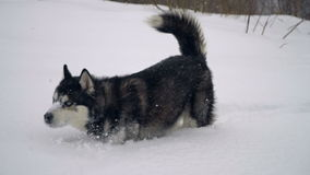 Husky in winter forest. slow motion stock footage