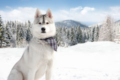 Husky in winter Stock Images
