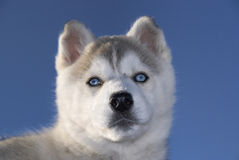 Husky in winter Stock Photography