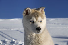 Husky in winter Royalty Free Stock Images
