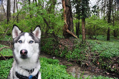 Husky in Woods Stock Image