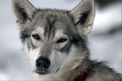 Husky1 Fotografia de Stock Royalty Free