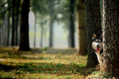 Husky2. A lonely and graceful siberian husky Royalty Free Stock Images