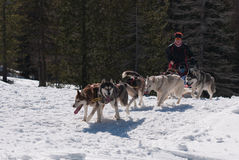 Huskyen dogsled på trail arkivfoto