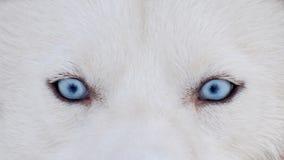 Huskyen förföljer aveln royaltyfri fotografi