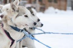 Huskyhundkapplöpning i Lapland Royaltyfri Bild