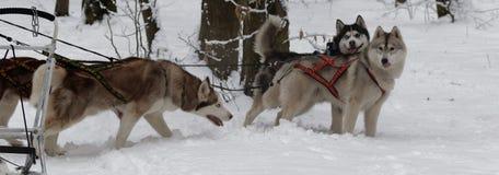 Huskys en nieve en el bosque Ucrania del invierno imagen de archivo libre de regalías