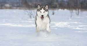 Huskys at race in winter Royalty Free Stock Photos