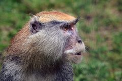 Hussar monkey. Portrait at the Zoo Stock Photography