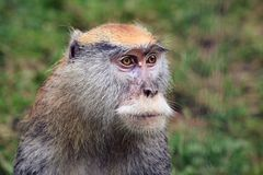 Hussar monkey. Portrait at the Zoo Royalty Free Stock Images