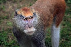 Hussar monkey. At the Zoo Royalty Free Stock Image