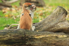 Hussar monkeys Royalty Free Stock Photo