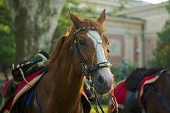 Hussar's horse royalty free stock images
