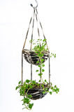 Husväxt som hänger, virkningarbete Arkivfoton