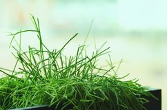 Husväxter, gräs, gör grön nära fönstret Livsstil för inredesign av vardagsrum eller kafét, restaurang, kontor kopia arkivfoton