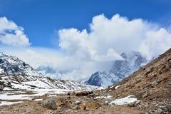 Husvagn av yaks på vägen till Gorak Shep, Nepal Härliga Himal Arkivfoto