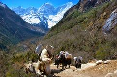 Husvagn av yaks som bär påfyllningen på vägen till Gokyo sjöar i Himal Royaltyfri Fotografi