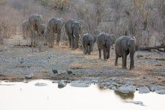 Husvagn för afrikanska elefanter Arkivfoto