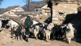 Husvagnen av getter går med gods från Simikot område, Nepal Arkivfoto