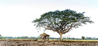 Hut and big tree in the terrace rice field Royalty Free Stock Photography