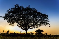 Hut and big tree in the terrace rice field Royalty Free Stock Images