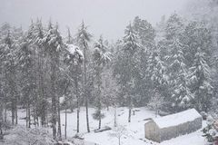 A Hut and Deodar Trees covered by Snow in Heavy Snowfall in an Indian Himalayan Village, Uttarakhand