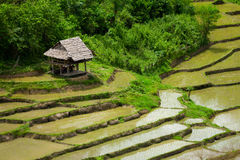 Hut in green rice paddy field Royalty Free Stock Image