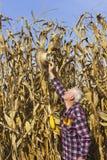 Hut herauf Hoch, Mais sind dieses Jahr sehr hoch Stockbilder