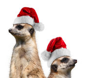 Hut Meerkats Sankt Stockfoto