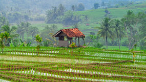 Hut in the middle of new rice fields in plant Royalty Free Stock Photo