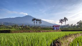 Hut in the middle of rice field Royalty Free Stock Photography