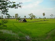A hut in the middle of a rice field in Phetchaburi, Thailand. View of a green rice field with a small hut in Phetchaburi, Thailand Stock Photo