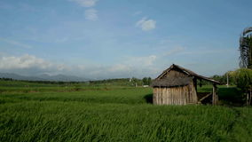 Hut in paddy field. Paddy fields and rice grass moving in the wind with little hut in foreground stock video