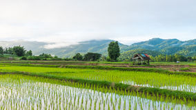 Hut in rice farm field Stock Photo