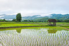 Hut in rice farm field Stock Image