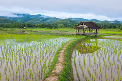 Hut in rice farm field Royalty Free Stock Image