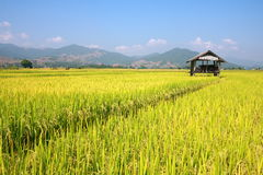 Hut and rice field Royalty Free Stock Image
