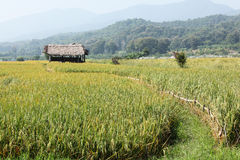 Hut in a rice field Stock Photo
