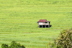 Hut in a rice field Royalty Free Stock Photos