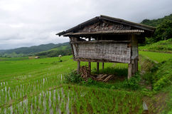 Hut  on a rice  field. Royalty Free Stock Photography