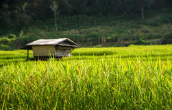 A hut in rice field Stock Photos