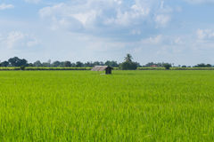 Hut in rice fields Stock Images