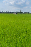 Hut in rice fields Stock Photography
